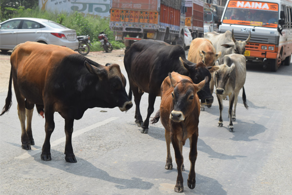 The feast of death without giving a radial lease to the animal - Mandi News in Hindi