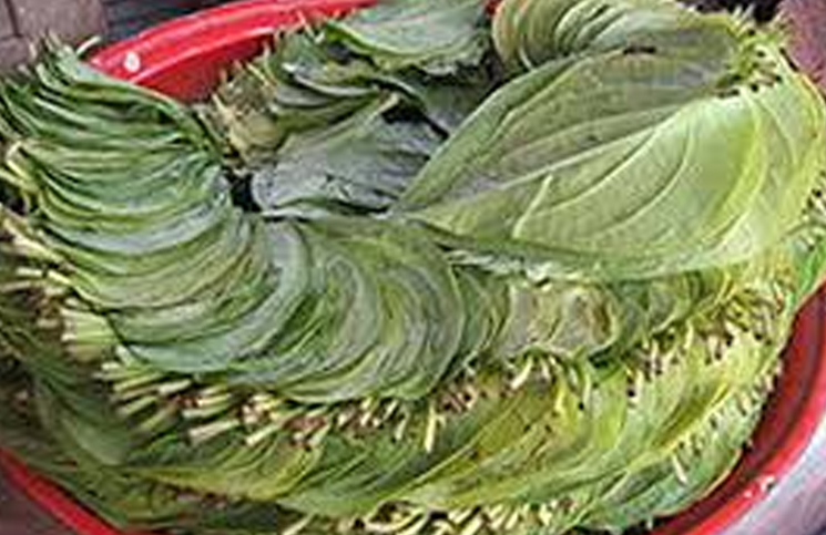 After the tomatoes in Pakistan, Paan will not go, Farmers protest - Bhopal News in Hindi