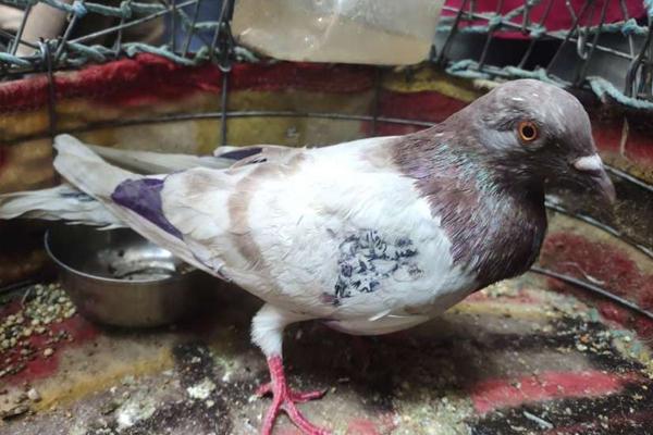 Investigation of Pakistani pigeon caught on the border - Bikaner News in Hindi