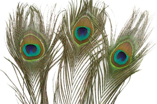 घर के दक्षिण-पूर्व में मोरपंख लगाने से बरकत बढ़ती है और..