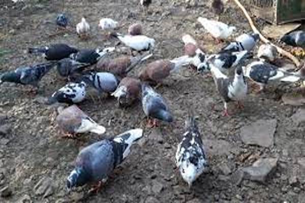 Pigeons killed by feeding toxins in Jaipur - Jaipur News in Hindi