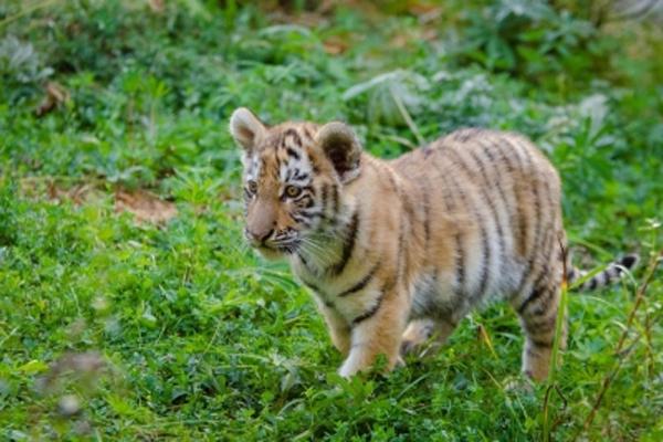 पीलीभीत से 4 बाघ शावक बचाए गए, लखनऊ चिड़ियाघर भेजा गया