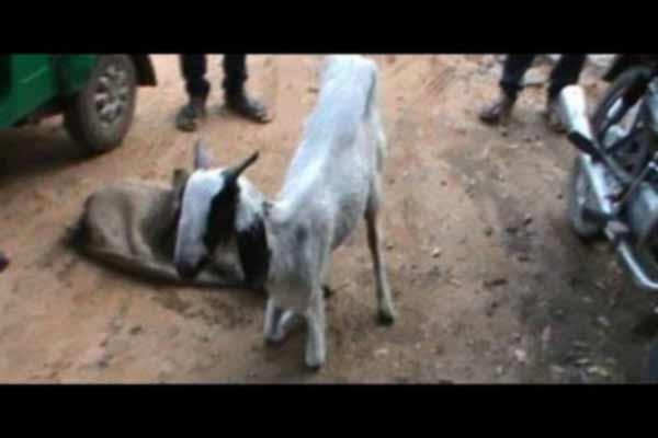 गर्भवति बकरी से 8 लोगों ने किया गैंगरेप, मौत के बाद पुलिस से की शिकायत