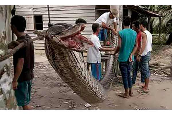 Unbelievably huge python fried for feast after fight with villagers in Indonesia - Weird Stories in Hindi