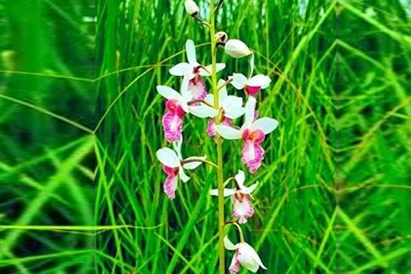Rare orchid plant found in Dudhwa National Park in Pilibhit after 1902 - Lucknow News in Hindi