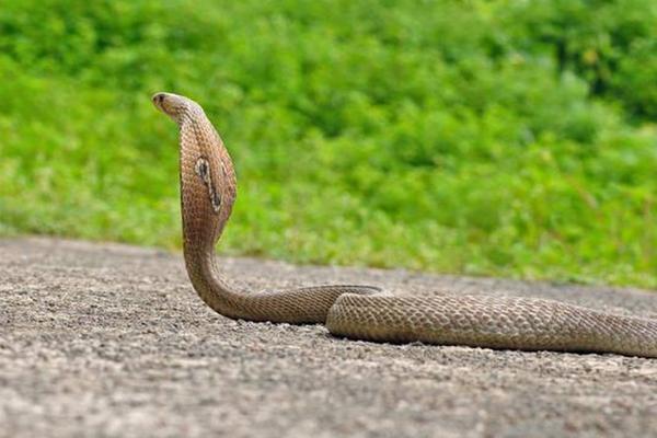 Snakes bite 26 people in Uttar Pradesh village - Bahraich News in Hindi
