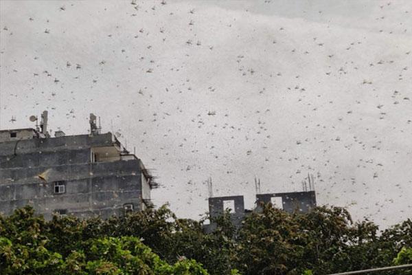 Locust party moving from Gurugram towards Palwal, may attack Delhi - Gurugram News in Hindi