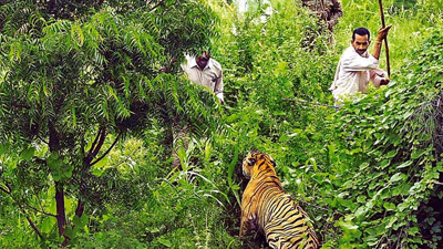 देश के दूसरे बड़े टाइगर रिजर्व में टाइगर हमले की झूठी दास्तां गढ़ रहे ग्रामीण?