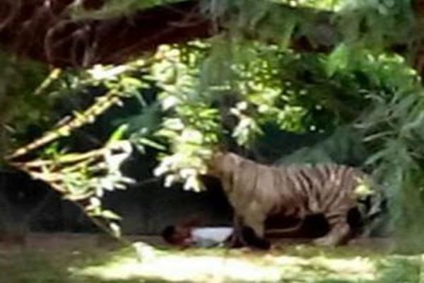 Tiger killed a young man cutting grass in Bihar - Bettiah News in Hindi