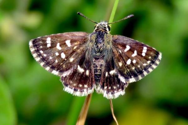 यहां देखें देश की 1328 वीं तितली,  तेज उड़ान भरती है 2.5 सेमी चौड़ी यह तितली, देखें तस्वीरें