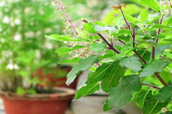 तुलसी के पौधे को इस दिशा में लगाने से आती है जीवन में अशुभता