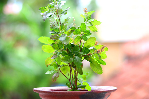 Keeping the basil plant near the kitchen grows in the members of the house… - Jyotish Nidan in Hindi