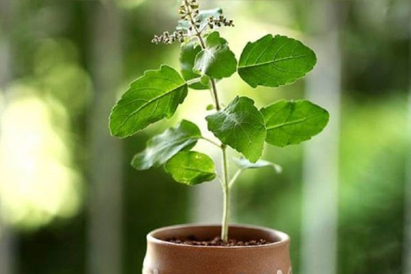 Never plant Tulsi plant in this direction, it causes inauspiciousness in life. - Vastu Tips in Hindi