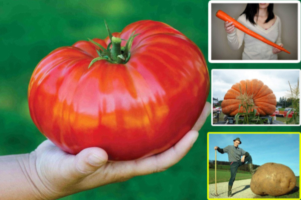 Largest Vegetables in the World - Wonders News in Hindi