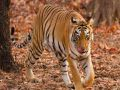 Ranthambore National Park : Tiger T -66 Moment  in Populated area in the Khandar range