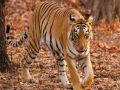 The tiger come out of Ranthambore National Park enters the village and ...