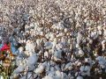 Government procurement of cotton in Punjab Not buying due to protests agents
