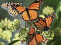 Butterflies will entice tourists in Mandu