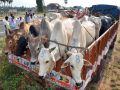 Cops line Hazir for Involved in cow trafficking