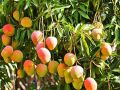 A mango tree with 121 varieties of fruits