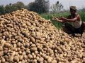 Farmers worried about the decline in potato prices in jalandhar