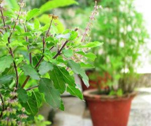 Tulsi has special importance in the month of Kartik, do Tulsi worship like this, take care - Hindi News