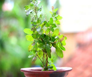 Keeping the basil plant near the kitchen grows in the members of the house… - Hindi News